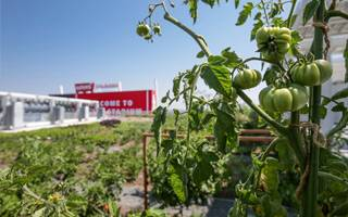 California: Levi's Stadium growing its own tomatoes